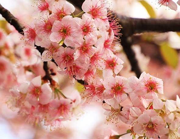 コーヒーアロマは桜と同じく