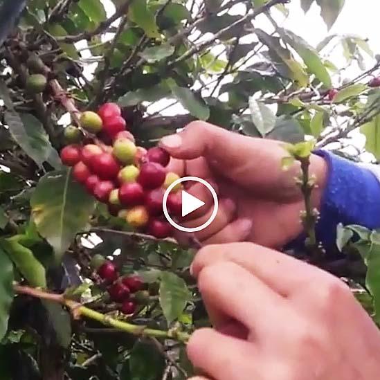 インドネシア珈琲生産