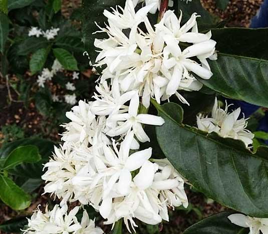 ゲイシャ種珈琲の花