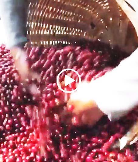 スペシャルティ珈琲完熟豆の収穫