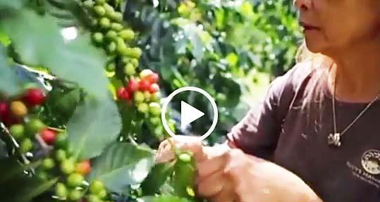 ハワイコナコーヒー農園