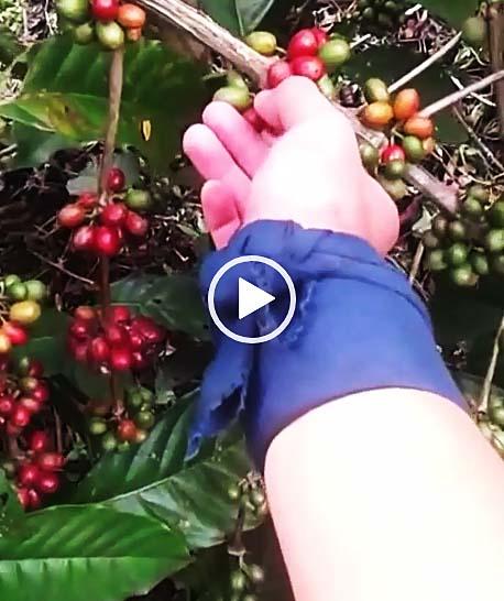ロブスタ種コーヒーノキ農園
