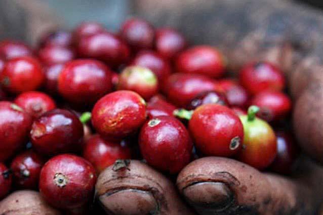 ケニア珈琲豆