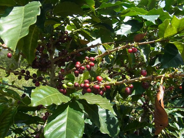 ホンジュラスコーヒー豆